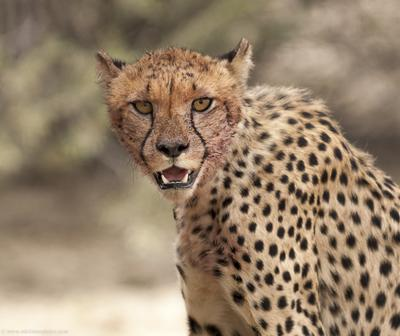 Cheetah Cub after a feed