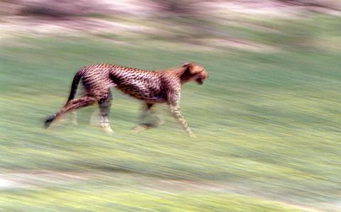 cheetah motion blur