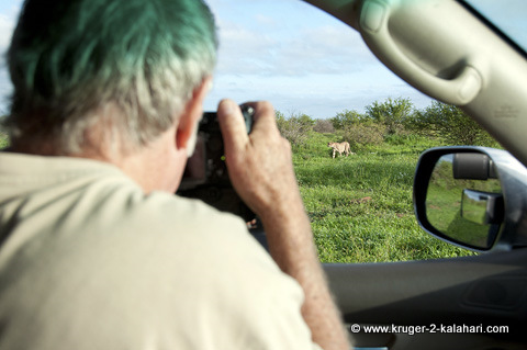 cheetah close to vehicle in Kruger Park