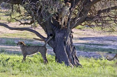 Cheetah in a tree 2