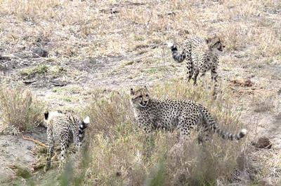 Cheetah and cubs off the S100