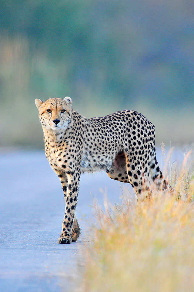 cheetah in road