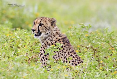 One cub