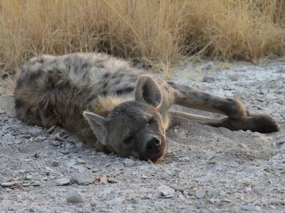Spotted Hyena asleep on the way to Okondeka