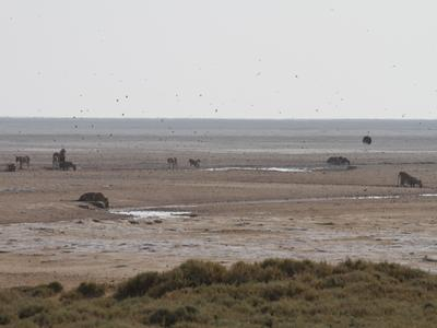 Lions drinking at Okondeka waterhole