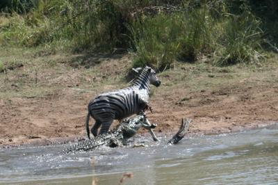 Crocodile bites off zebra's front leg