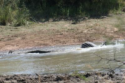 Crocodile pulls zebra under water