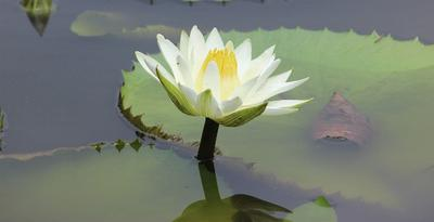 Water Lilly in full glory.