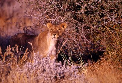 Lioness watching the animals drinking