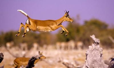 Black-faced Impala - Goas waterhole