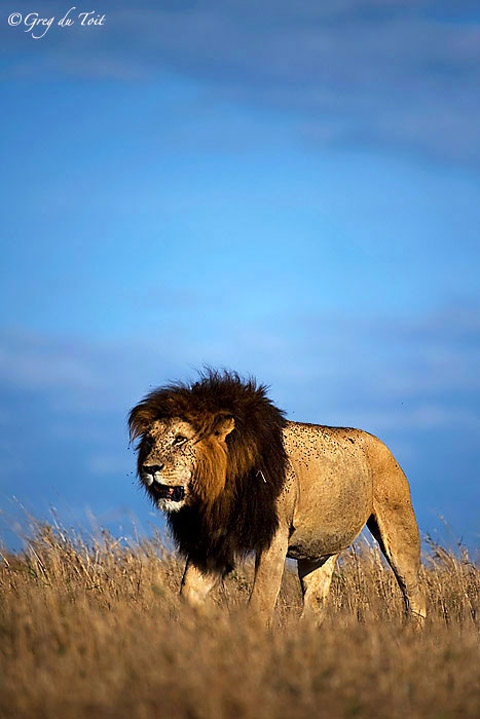 Male lion surrounded by flies