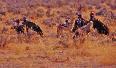Black-backed jackals and vultures at carcass