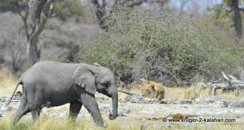 lions and elephant at Goas waterhole