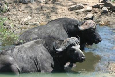 Buffalos at the bridge between Skukuza and Kruger Gate
