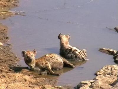 Hyena at a bridge on the way to Malelane