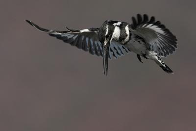 Hovering Pied Kingfisher - Mankwe Hide, Pilanesberg