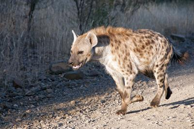 Hyena in a hurry