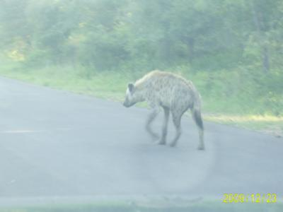 Hyena taking a walk