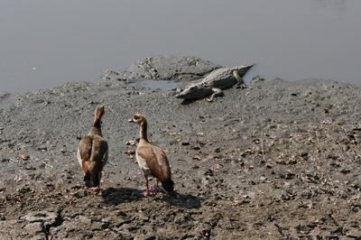 Egyptian geese contemplating on what the object is.