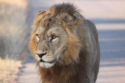Male lion, early morning