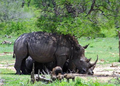 Rhinos and warthogs