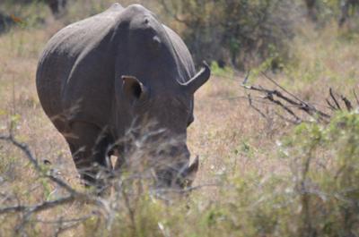 White Rhino grazing