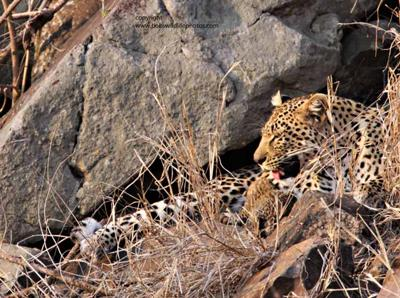 Leopard with cub 2