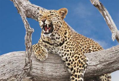 Leopard blue sky