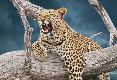 Leopard night sky