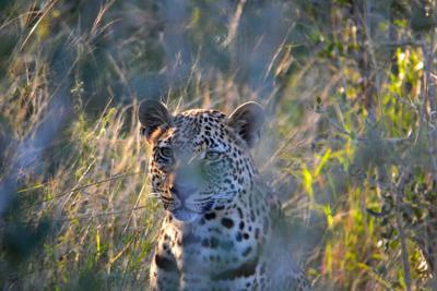 Leopard on leopard rock
