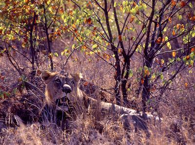 Lion under the Mopani trees