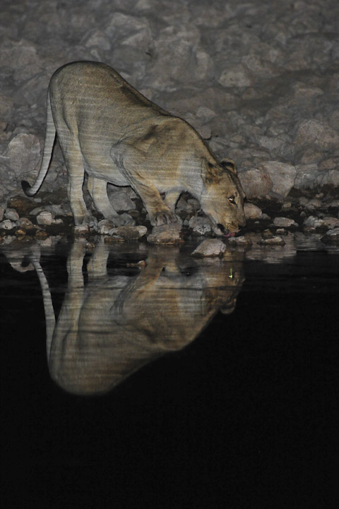 lioness drinking at Okaukuejo waterhole at night