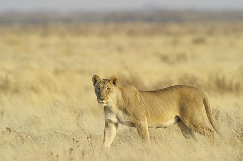 Lioness near Gemsbokvlakte waterhole in etosha