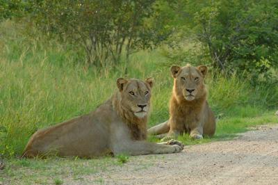 Lions near Orpen Camp