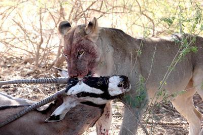 Lion moving Oryx