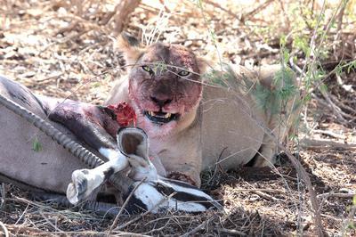 Lion eating