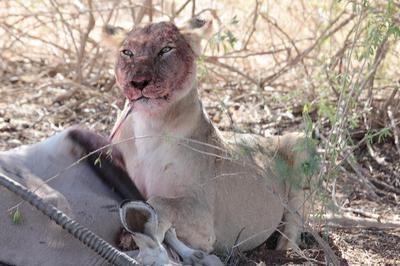 Lion pulling tendon