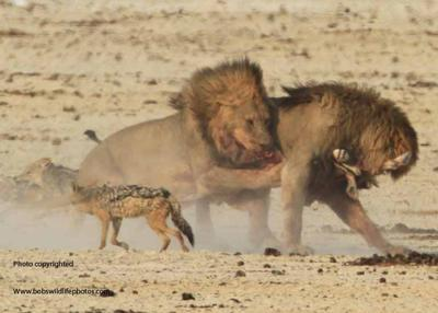 Lions disagree on who gets lunch