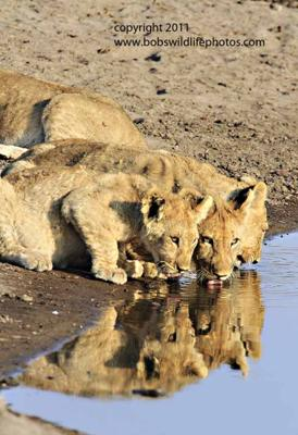 Four cubs drinking