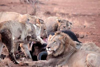 Satara lion kill 2