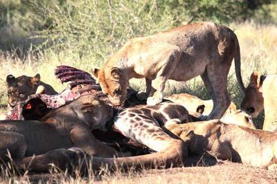 Lion on Giraffe kill