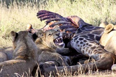 Lion on Giraffe kill 2