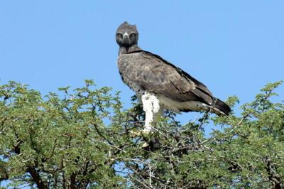 Martial eagle - what a magestic bird