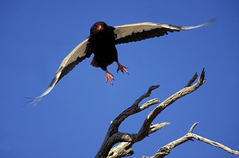 Bateleur eagle in the Kgalagadi