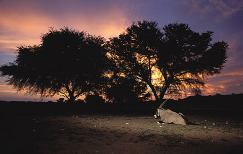 Gemsbok (Oryx) at sunset in the Kgalagadi