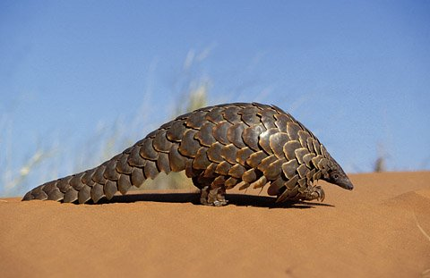 Pangolin in the Kgalagadi Transfrontier Park