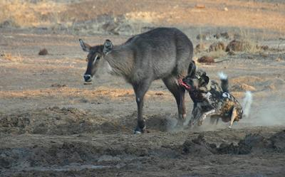 African Wild Dog Kill