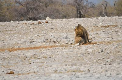 What nature inteded the lions to do, other than hunting.