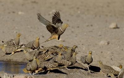 Sanda Clause! (Namaqua sand grouse)