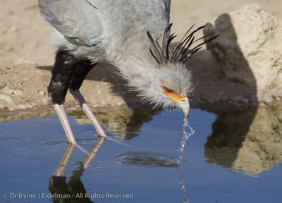 Secretary bird drinking